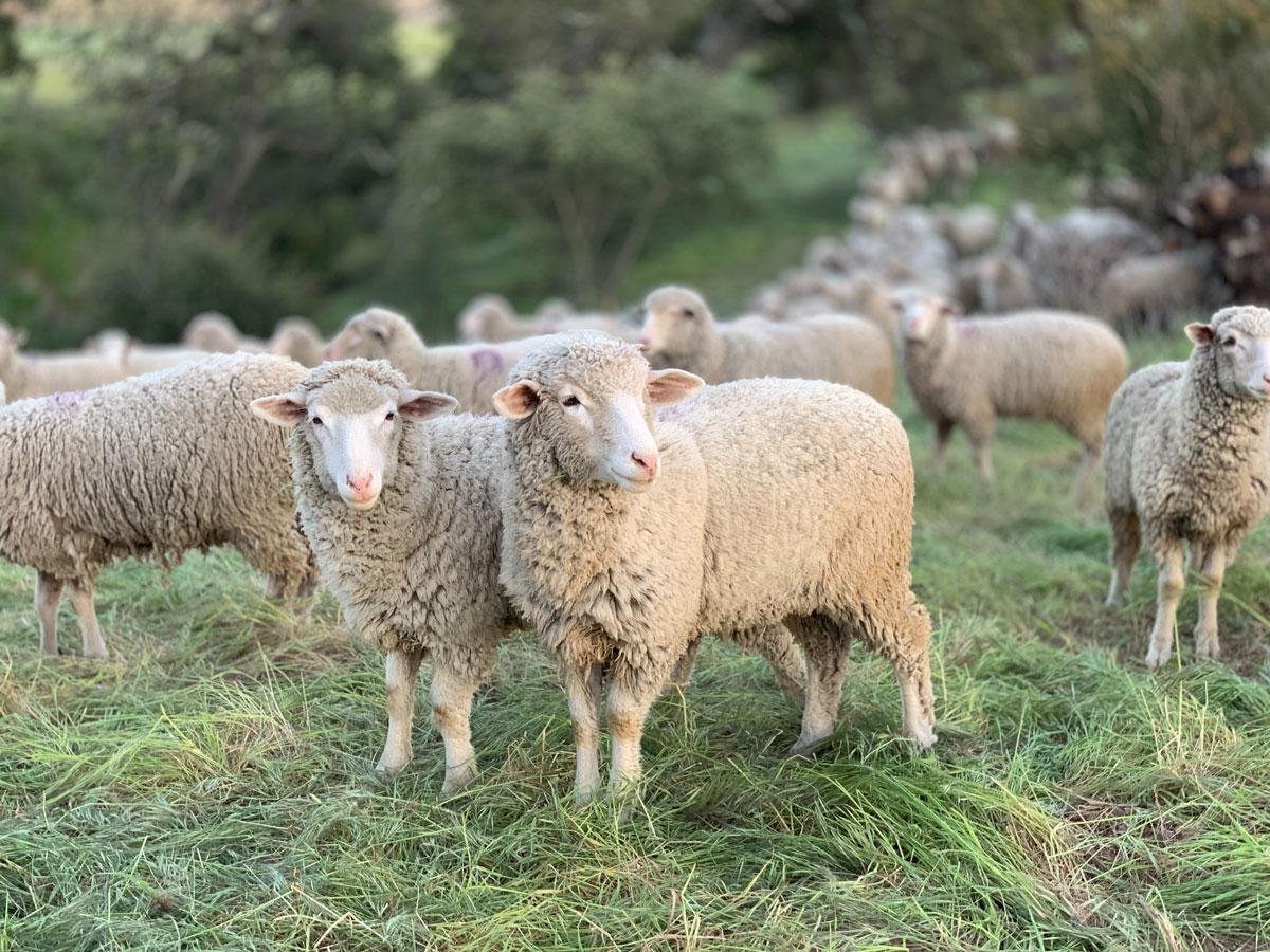 sheep coaching